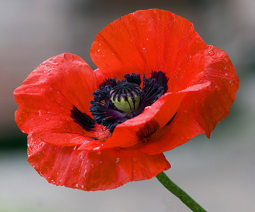 poppy, flower of remembrance