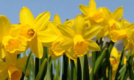 spring colours, yellow daffodils