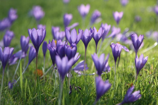 spring colours, purple croci,